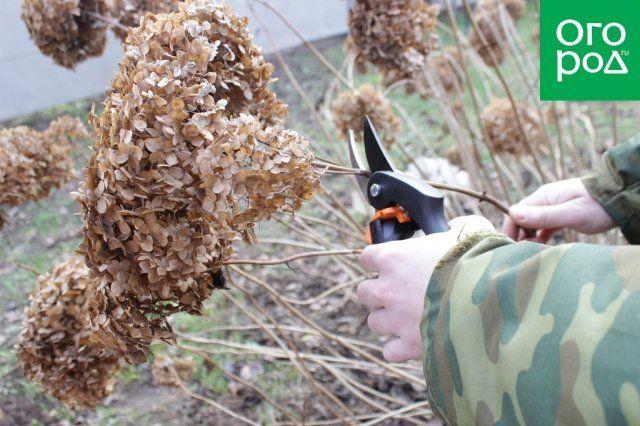 Обрезка цветов гортензии