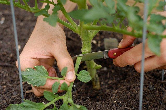 Обрезка нижних листьев томатов
