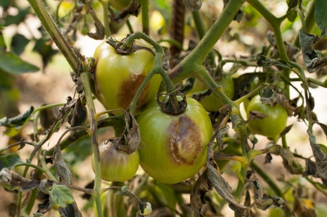 Фитофтороз фитофтора томатов