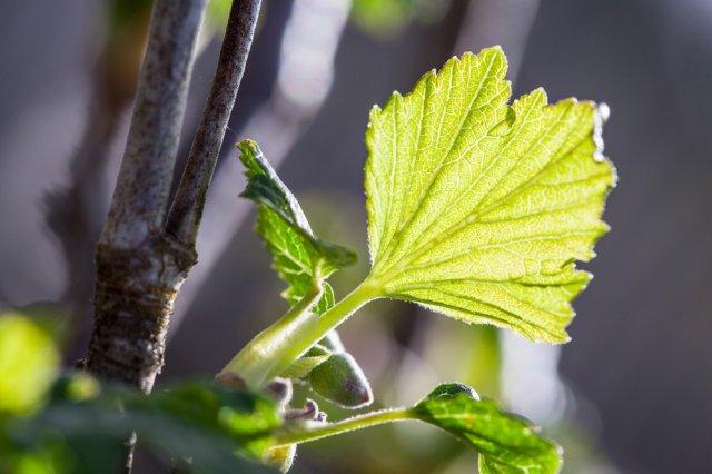 Лист молодой смородины