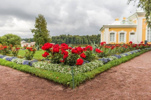 розы на клумбе рядом с однолетними цветами