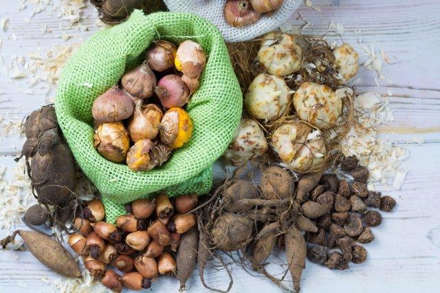Раствор марганцовки для обработки луковиц