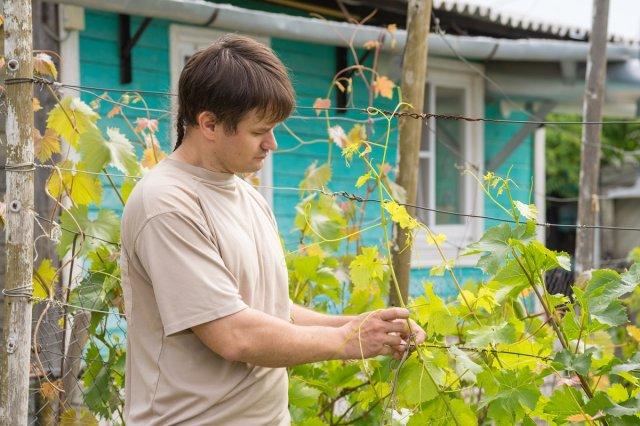 Посадка саженцев винограда для начинающих