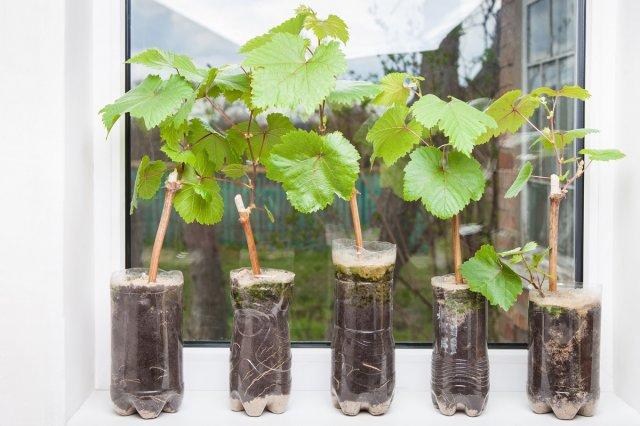 Виноград – посадка и уход в открытом грунте