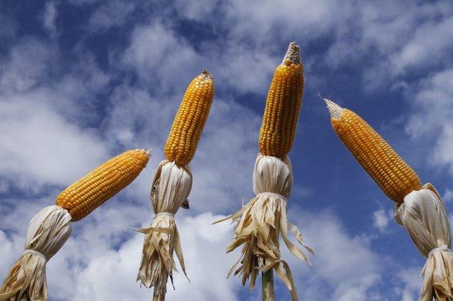 Кукуруза биологической спелости