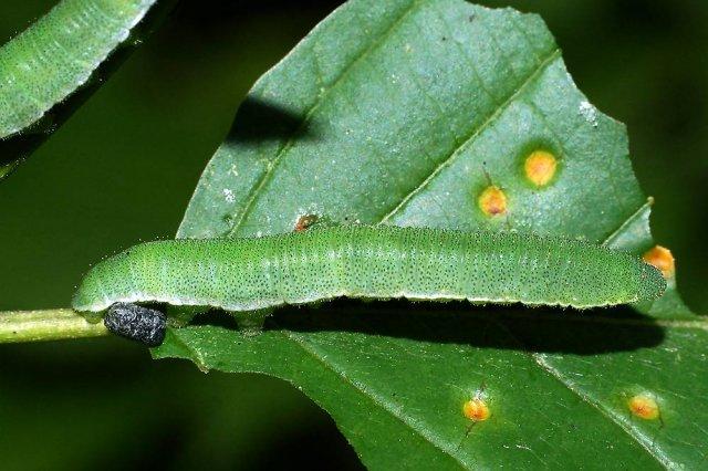 Гусеница лимонницы