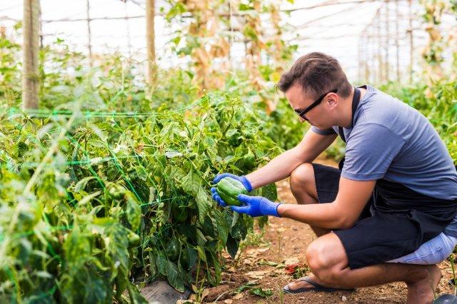 Перец сладкий выращивание и уход