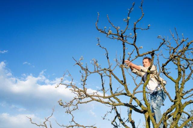 Обрезка старого дерева
