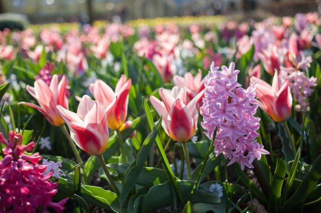 с чем рядом сажать тюльпаны