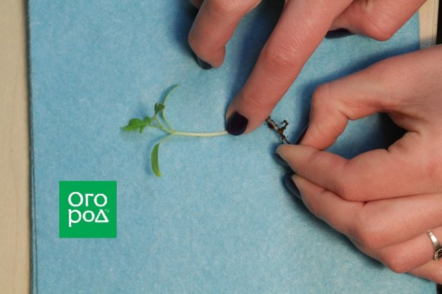 Прищипывание корня рассады