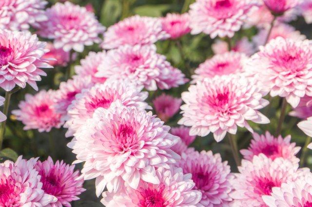 Хризантема Яблоневый цвет