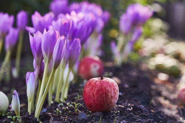 безвременник и яблоки