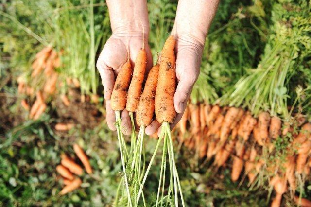 убирать морковь