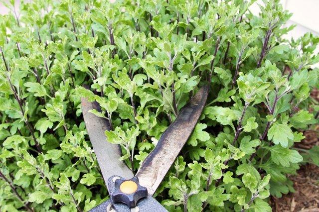 обрезка хризантем