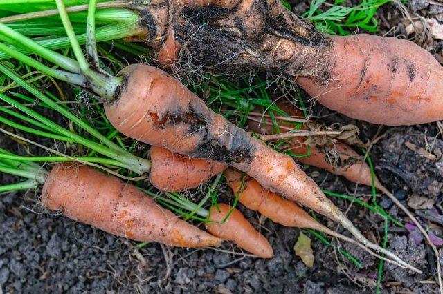морковь, поврежденная личинкой мухи
