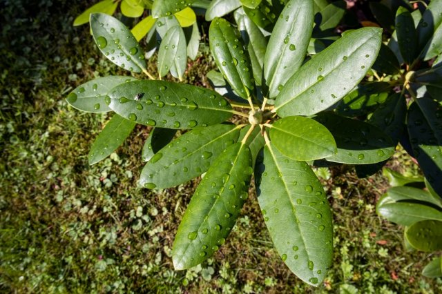 рододендрон листья
