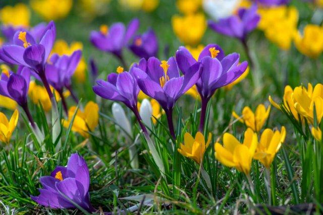 Крокус весенний