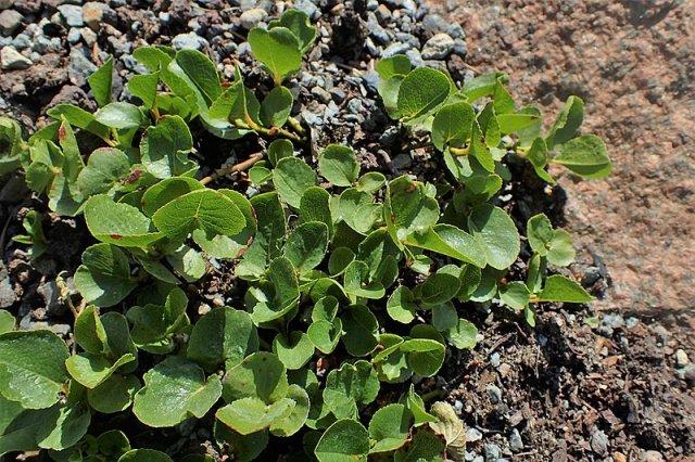 почвопокровные растения посадка уход особенности