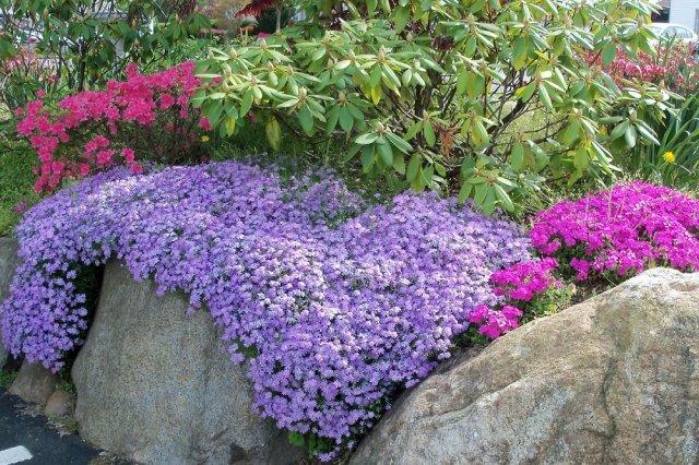Рододендрон и почвопокровные растения фото