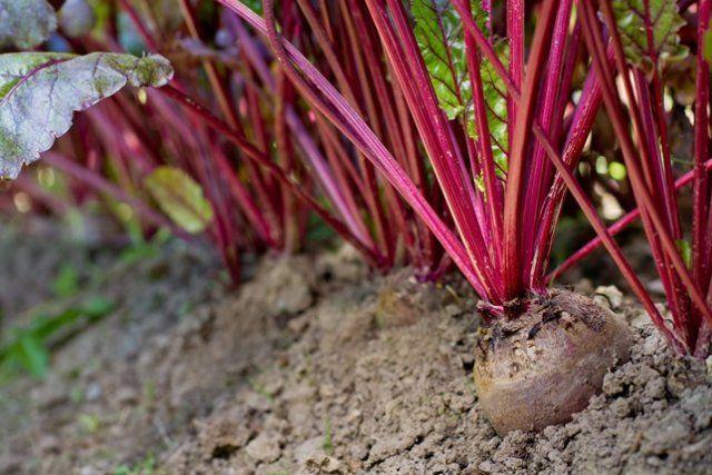 Формируя высокие урожаи, свекла нуждается в плодородной почве