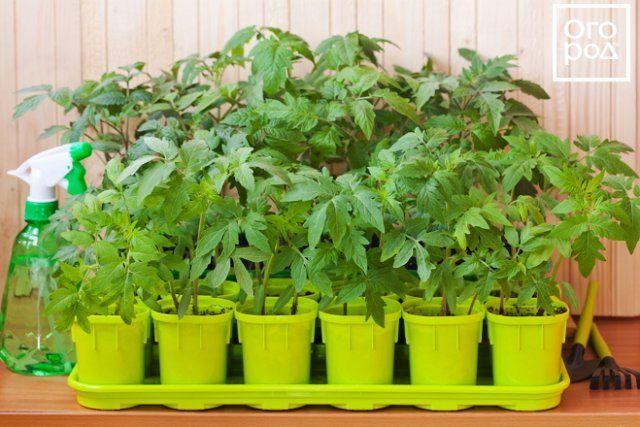 как в домашних условиях выращивать помидоры