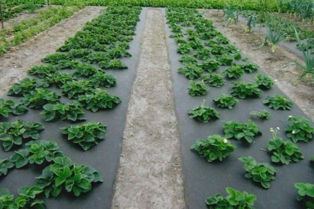 Применение черного агроволокна при выращивании клубники