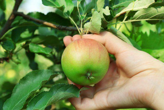 Как узнать, что пора снимать груши с дерева: срок и спелость