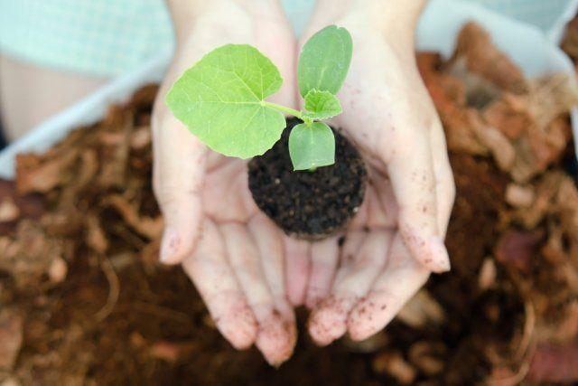 Если теплица оборудована отопительным прибором и почва прогрета да 20-26°С (а воздух до 19-25°С), то уже в конце января можно высадить рассаду в грунт