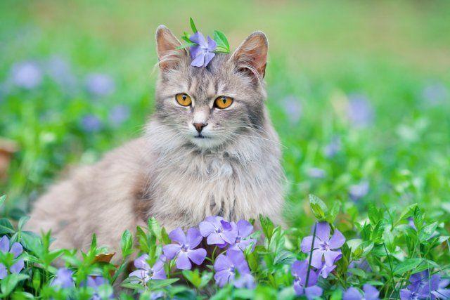 Кот в барвинках