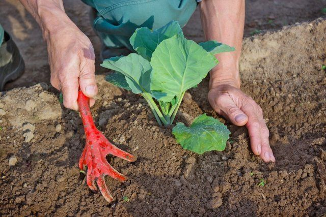 Окучивание капусты / Hilling young seedlings of cabbage in the garden in the spring