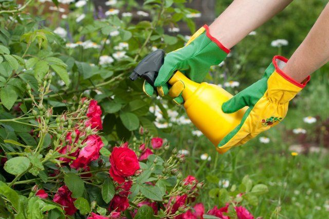 Spraying roses in a garden