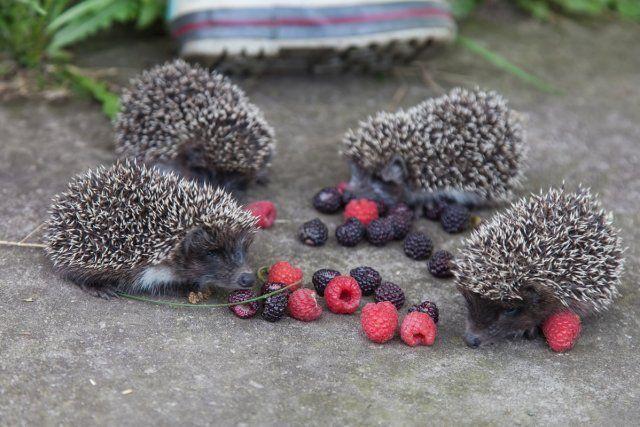 Ежи на даче едят ягоды