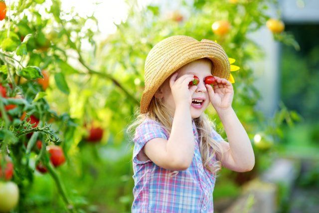 Adorable little girl wearing hat picking fresh ripe organic tomatoes in a greenhouse on warm summer evening