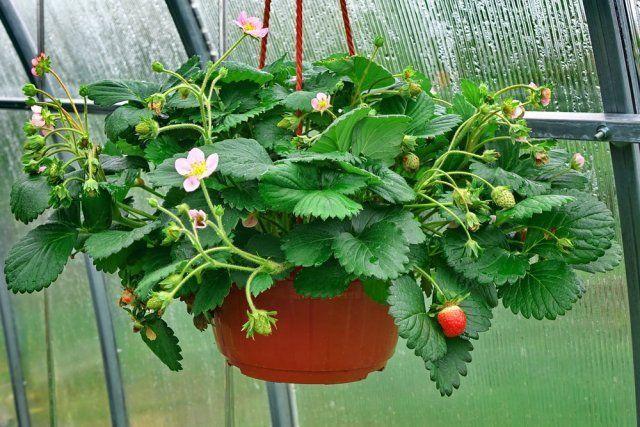 Клубника в горшках выращивание фото 38