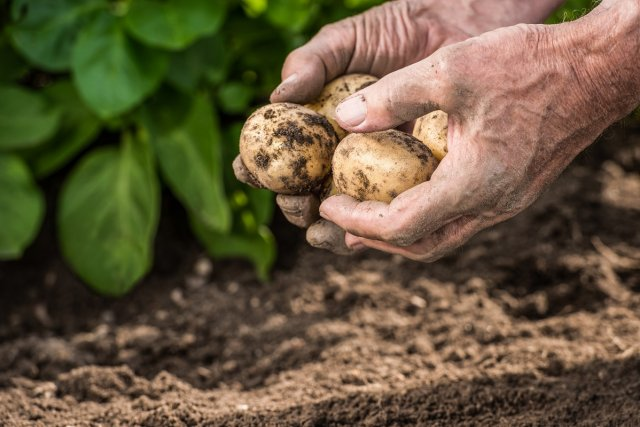 Male hands harvesting fresh organic potatoes from garden