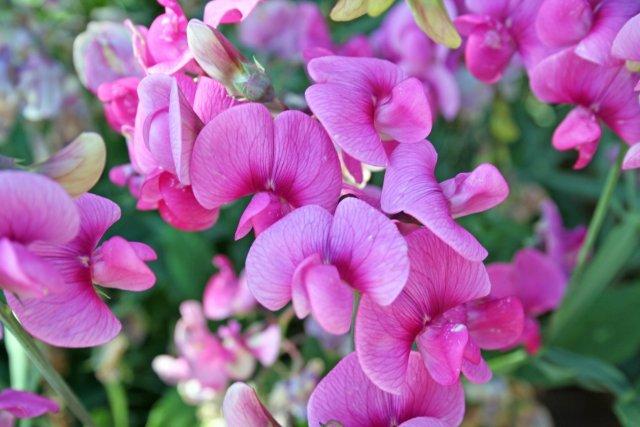 pink sweetpea flowers