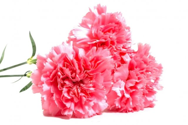 three pink carnations isolated on white background