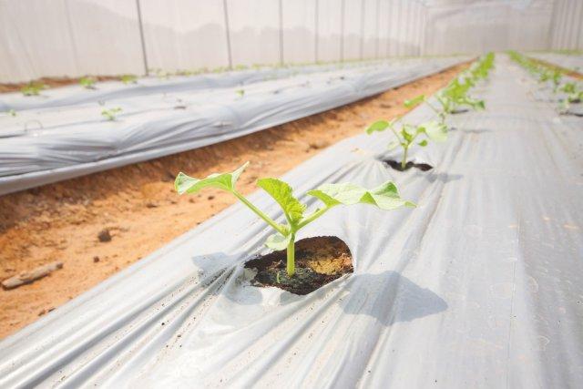 Как высаживать рассаду дыни в грунт 250