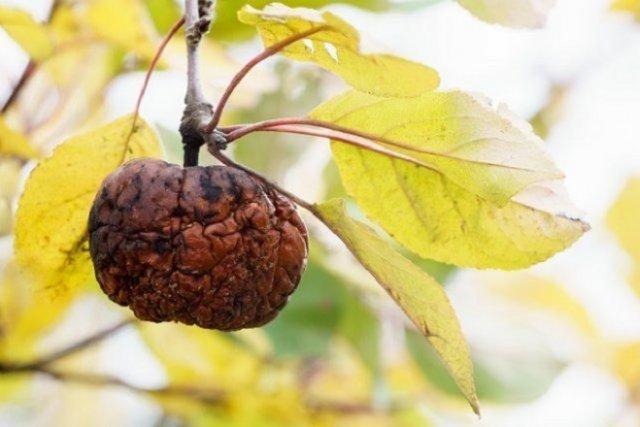 яблоки засыхают на дереве