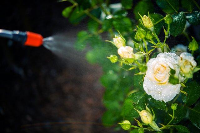 Опрыскивание розы во время цветения
