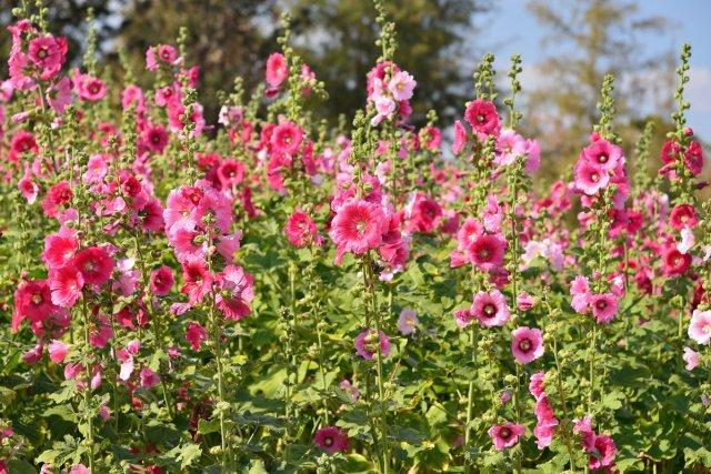 растение для начинающих шток-роза