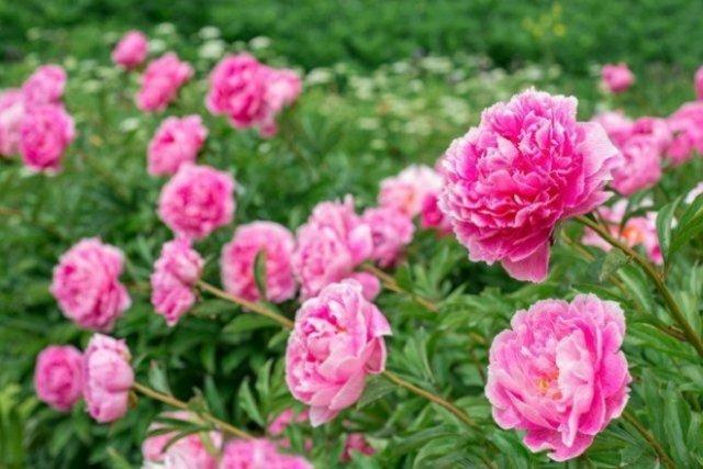 Почему не цветут пионы и что с этим делать