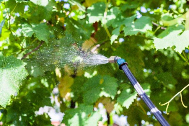 опрыскивать виноград