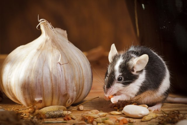 мышь с чесноком