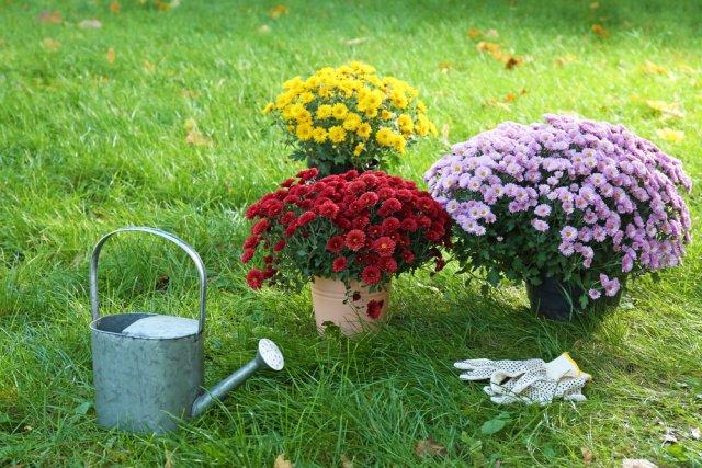 Полив хризантем