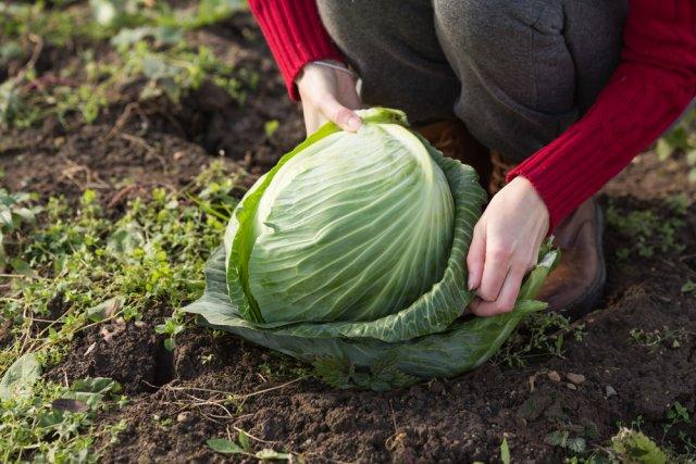 женщина убирает капусту