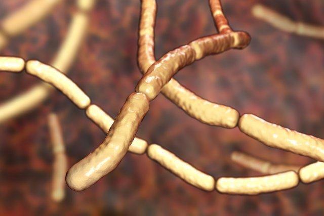 Бактерии сенной палочки