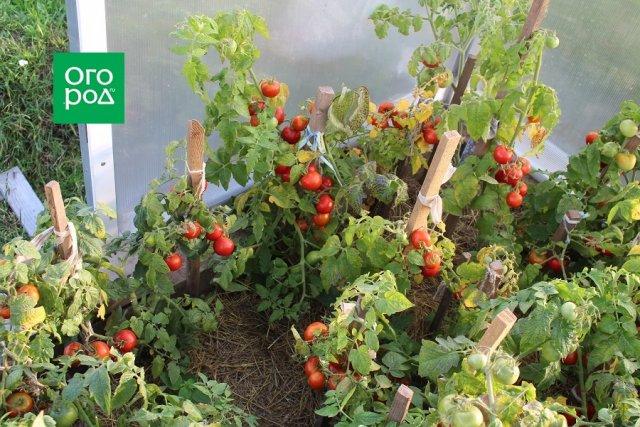 сроки всхожести семян томатов после посева