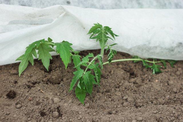 укрывать помидоры