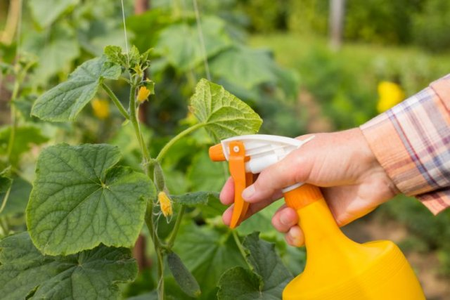Чем подкормить огурцы во время плодоношения